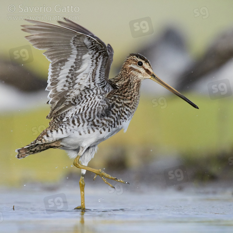 Common Snipe, side view of an adult taking a bath