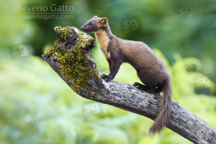 Martora, adulto su un vecchio tronco