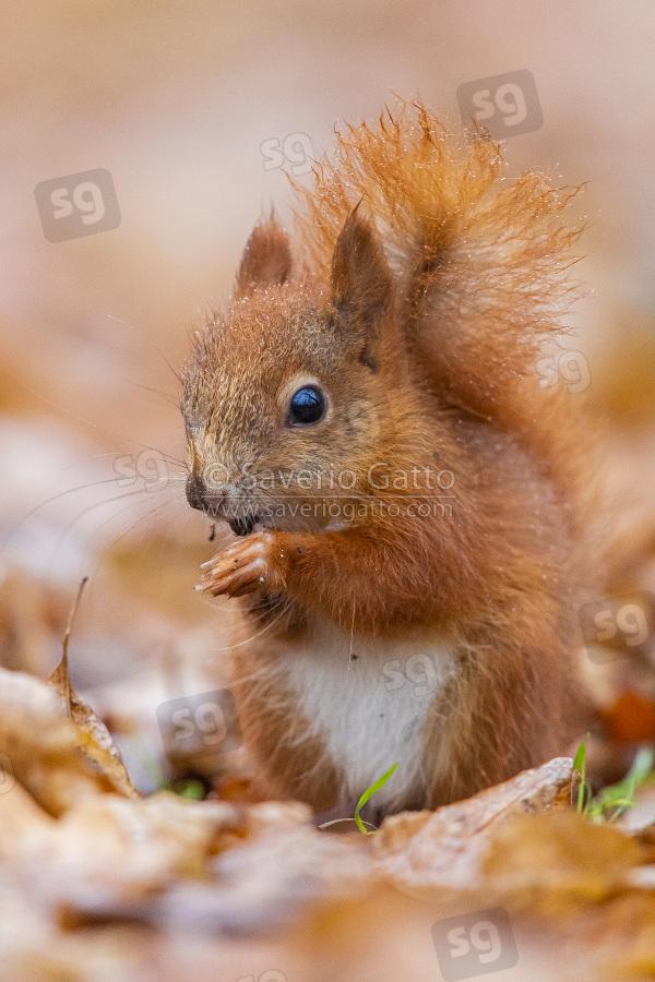 Scoiattolo comune, giovane che mangia su un tappeto di foglie