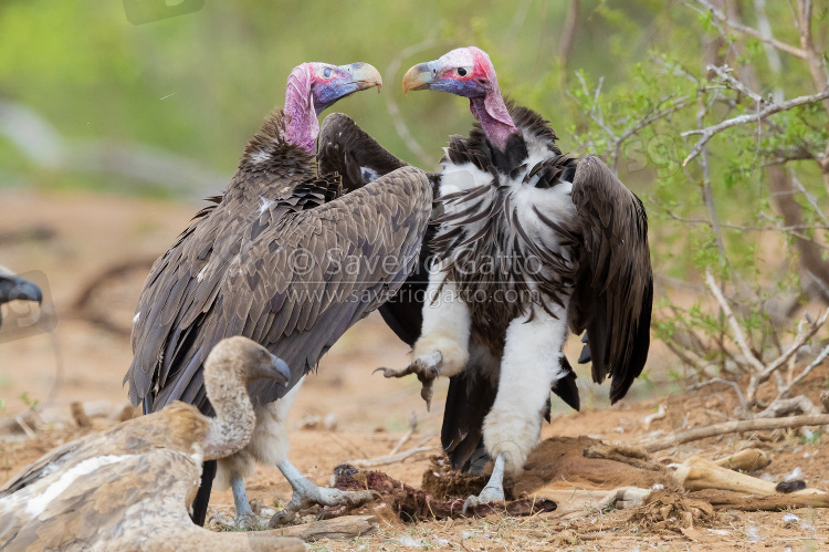 Lappet-faced vulture, two adults fighting while feeding on a carcass