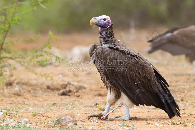 Lappet-faced Vulture, side view of an adult standing on the ground with a bone in its feet