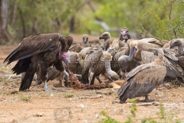 Lappet-faced vulture, side view of an immature feeding on a carcass among other vultures
