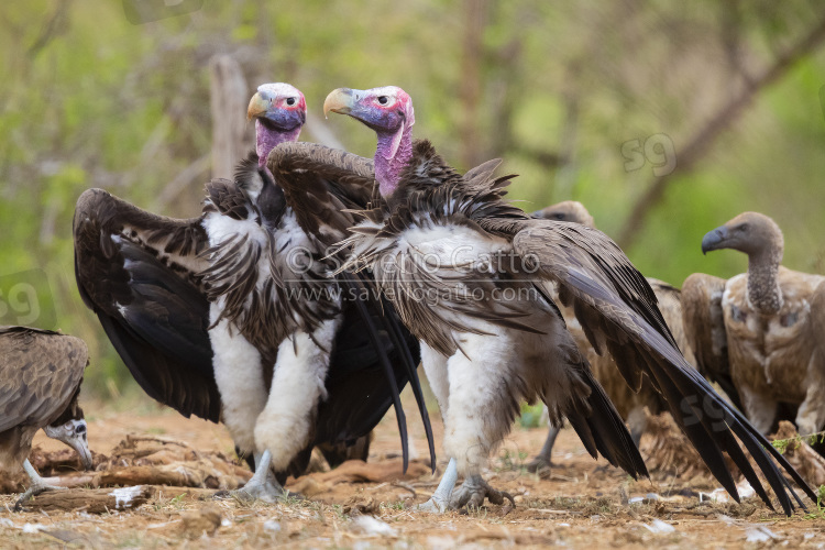 Lappet-faced Vulture, two adults displaying on the ground among other vultures