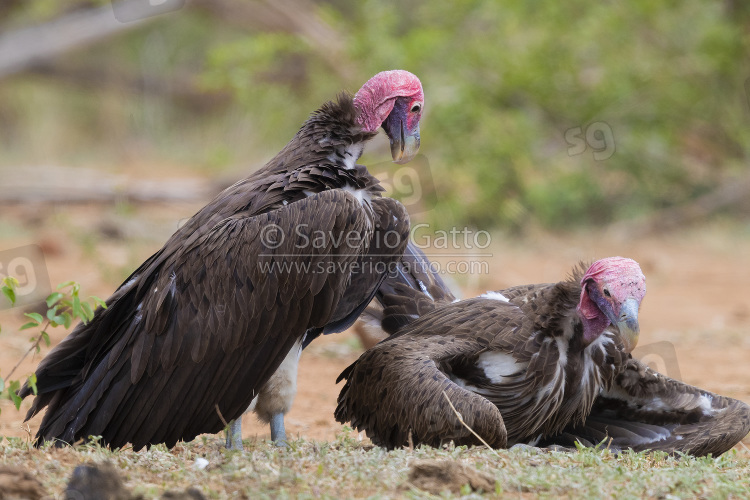 Lappet-faced Vulture, two adults on the ground