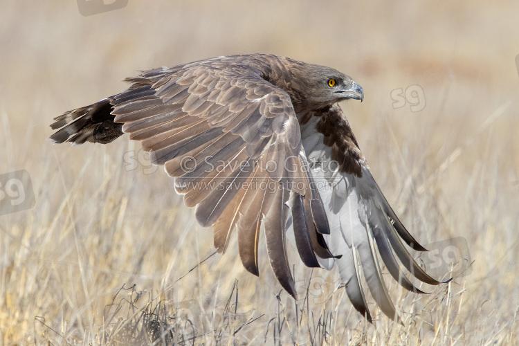 Biancone bruno, adulto in volo