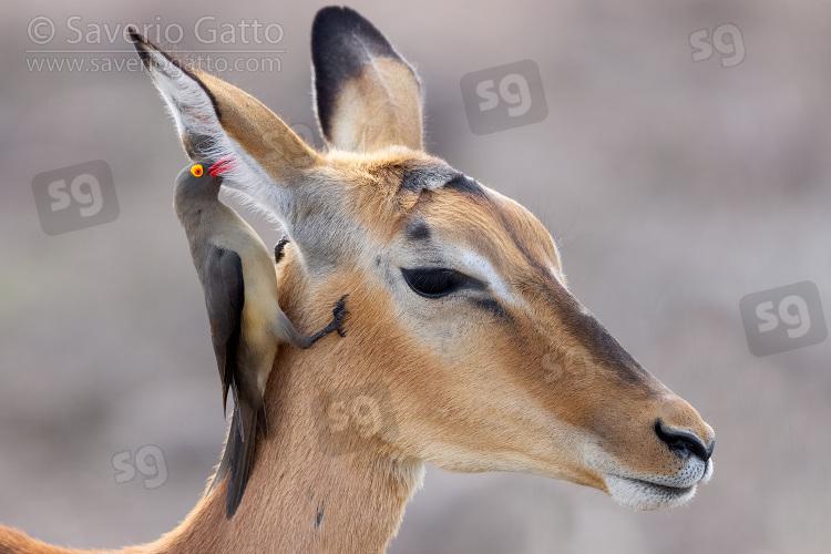 Impala e Bufaga beccorosso