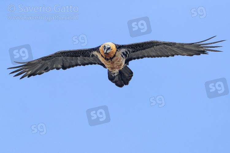 Bearded Vulture, adult in flight seen from below