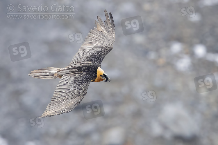Bearded Vulture, adult in flight seen from above