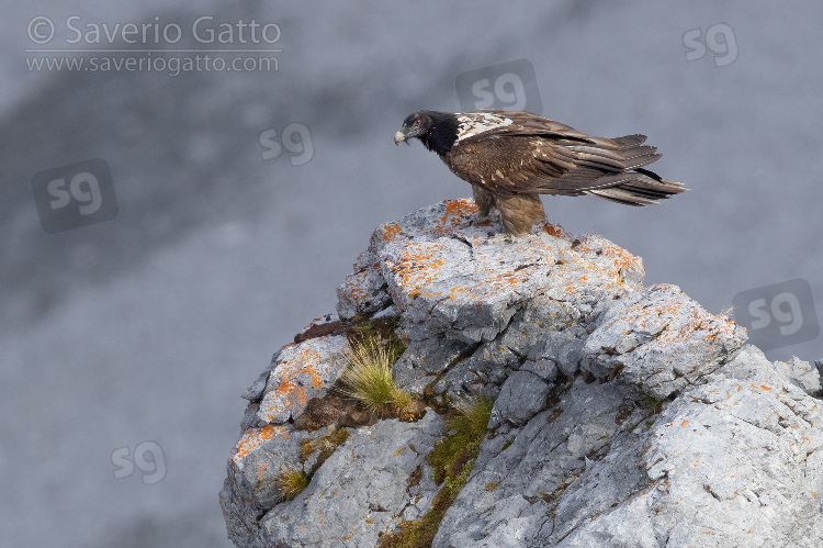 Bearded Vulture, side view of a juvenile perched on a rock