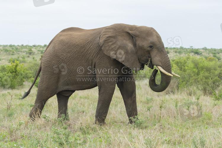 Elefante africano, adulto che mangia erba