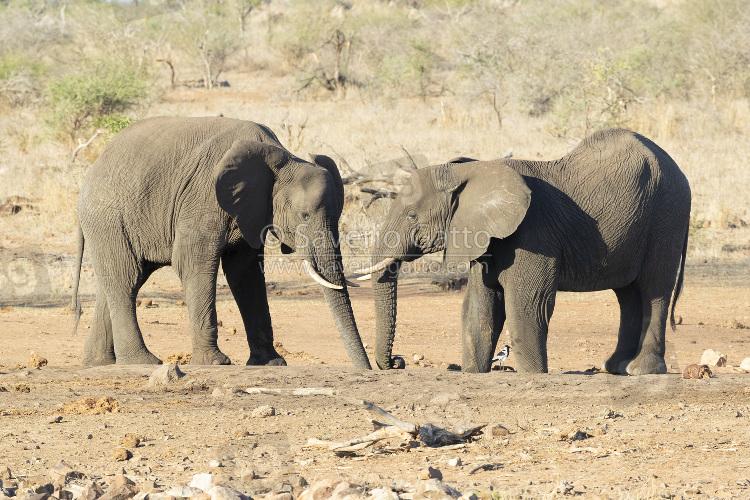 Elefante africano, adulti che si abbeverano