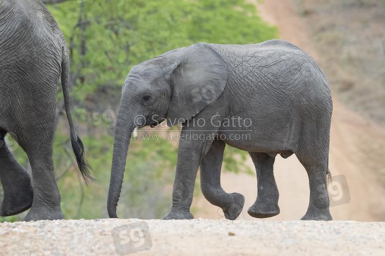 Elefante africano, cucciolo che attraversa una strada