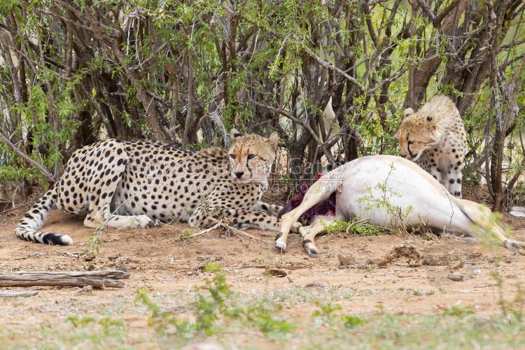 Ghepardo, femmina adulta con cucciolo che si cibano di un impala