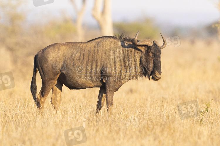 Gnu, adulto nella savana