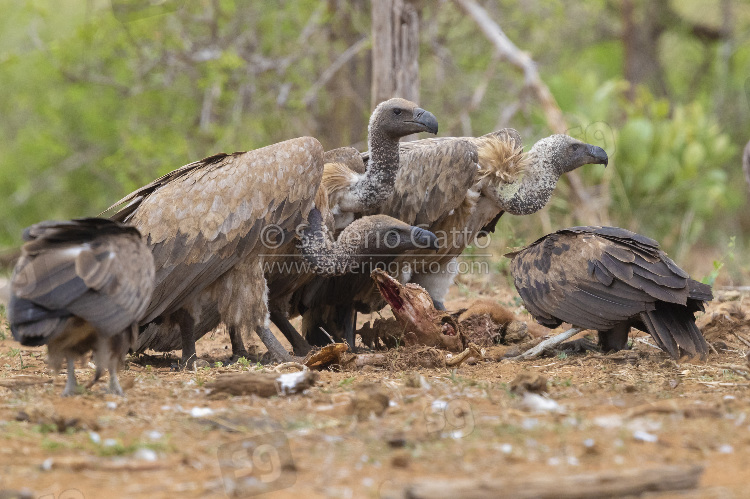 White-backed Vulture, immatures feeding on a carcass
