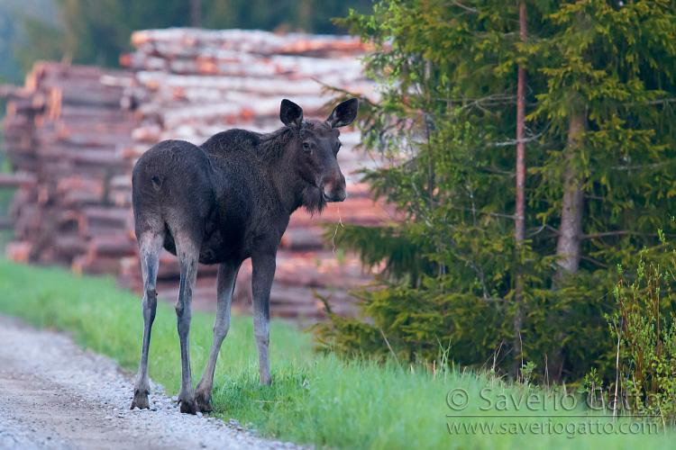 Alce, individuo al bordo di una strada in finlandia