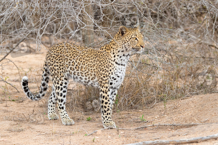 Leopardo, femmina adulta