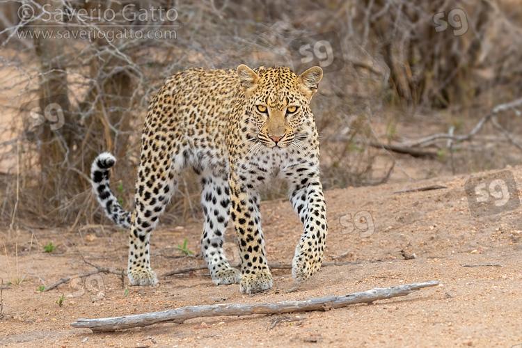 Leopardo, femmina adulta che avanza verso la fotocamera