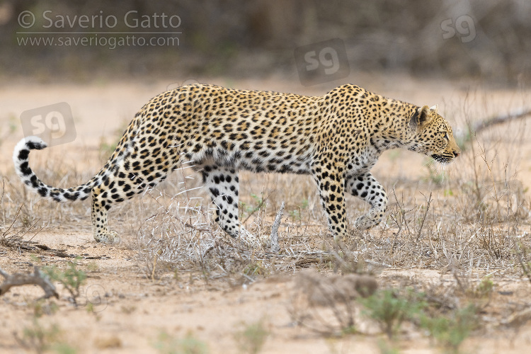 Leopardo, femmina adulta che avanza verso una preda
