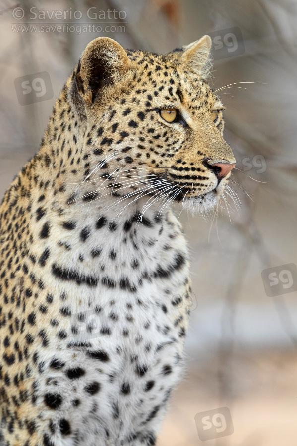 Leopardo, primo piano di una femmina adulta