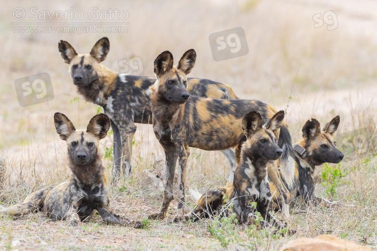 Licaoni, piccolo branco nella savana