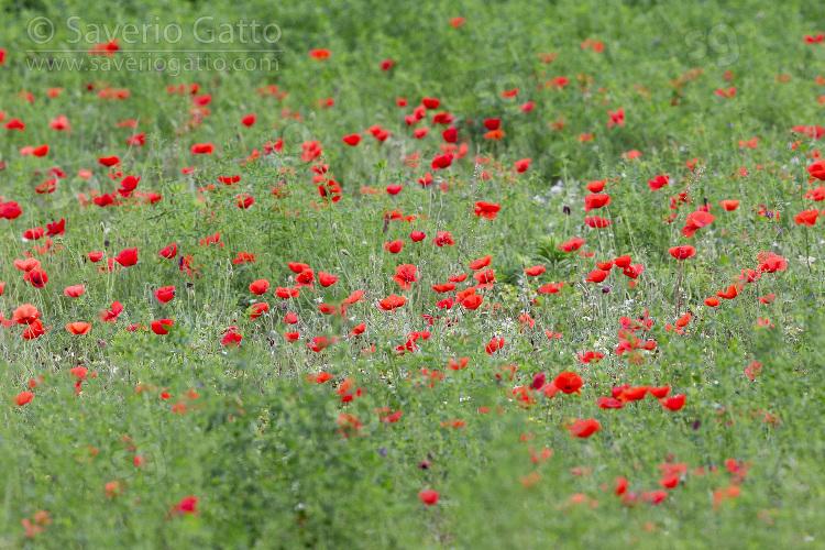 Papaveri, fioritura in un campo