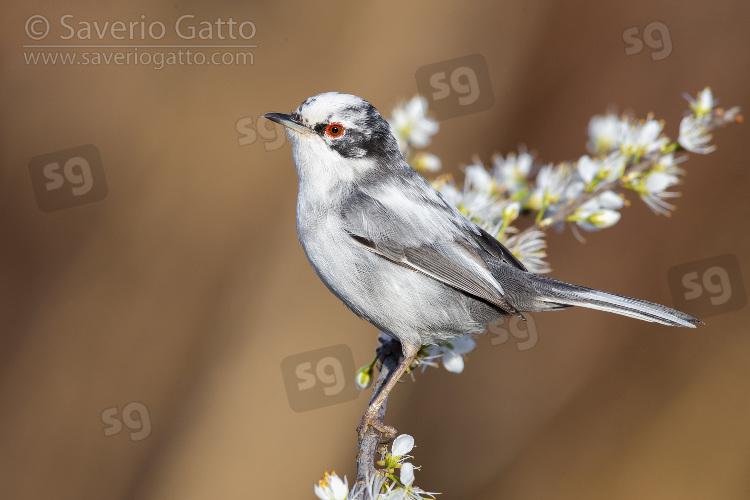 Occhiocotto, maschio leucistico su un ramo di prugnolo fiorito