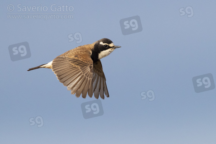 Capped Wheatear, side view of an adult in flight