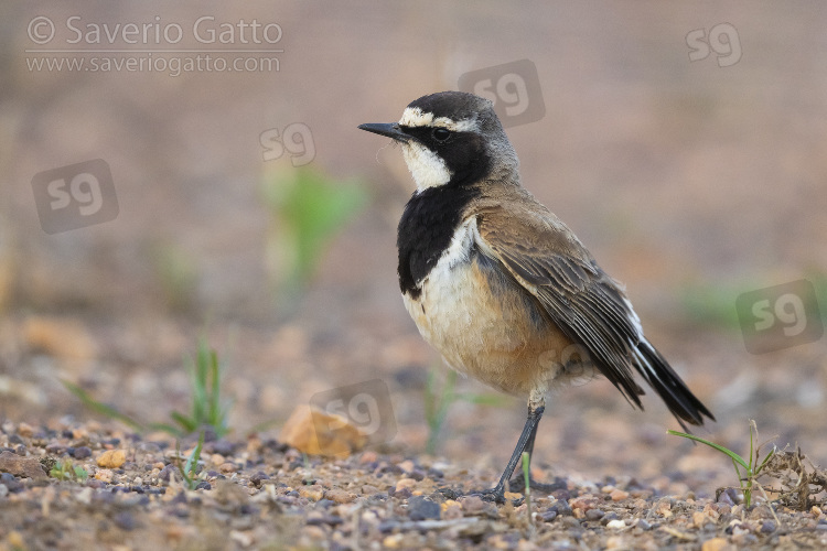 Capped Wheatear, side view of an adult standing on the ground with material for the nest in its bill