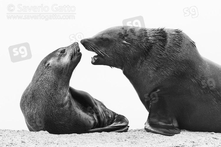 Otaria orsina del Capo, maschio e femmina che interagiscono