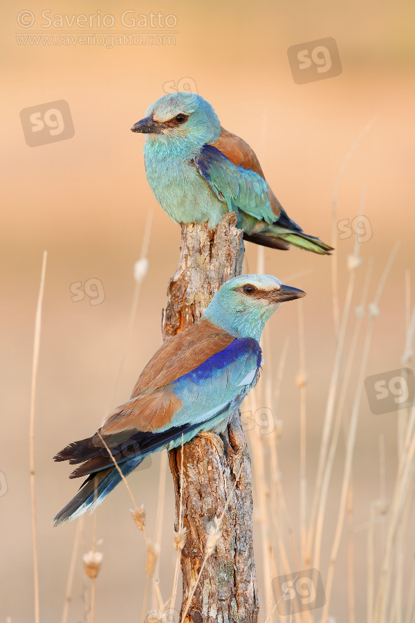 European Roller, couple perched on a dead trunk