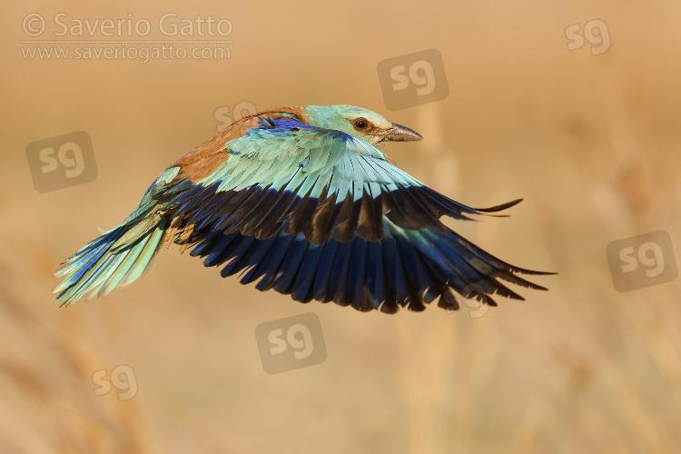 Ghiandaia marina, femmina adulta in volo