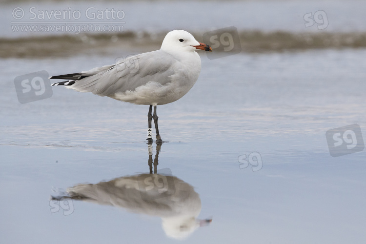 Audouin's Gull, side view of an adult standing on the shore