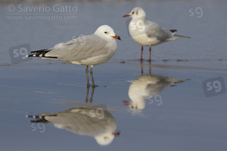 Audouin's Gull, side view of an adult standing on the shore together with a black-headed gull