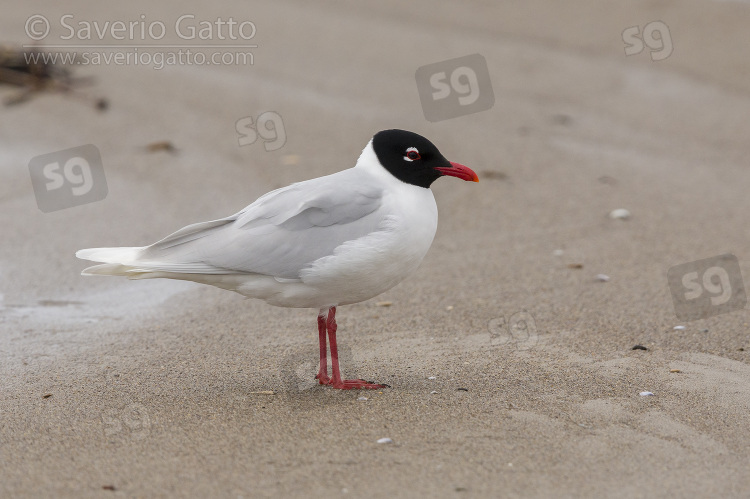 Mediterranean Gull, side view of an adult in breeding plumage standing on the shore