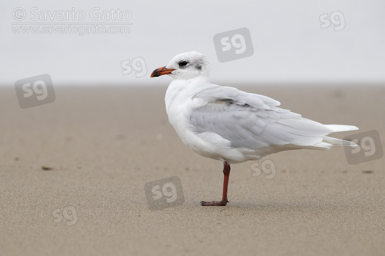 Mediterranean Gull, side view of an adult in winter plumage standing on the shore