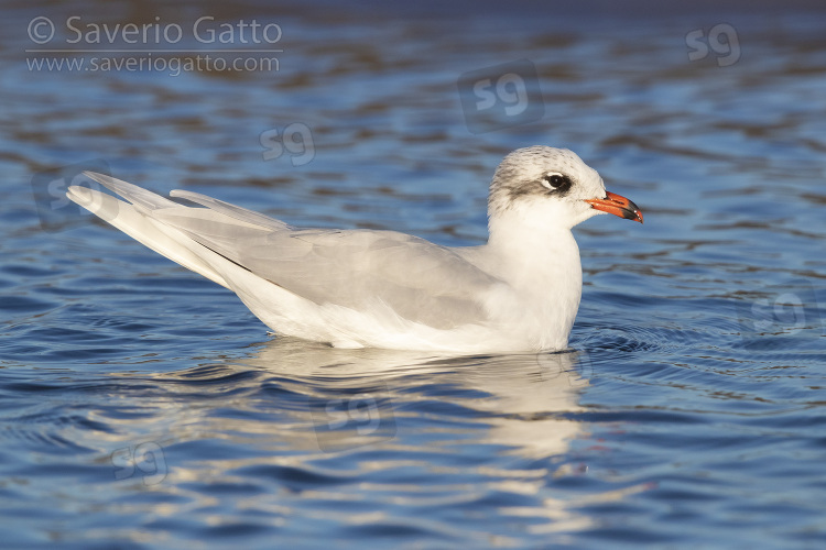 Mediterranean Gull, side view of a 4 cy adult swimming in winter plumage