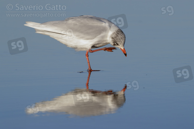 Mediterranean Gull, side view of an adult in winter plumage scratching its head