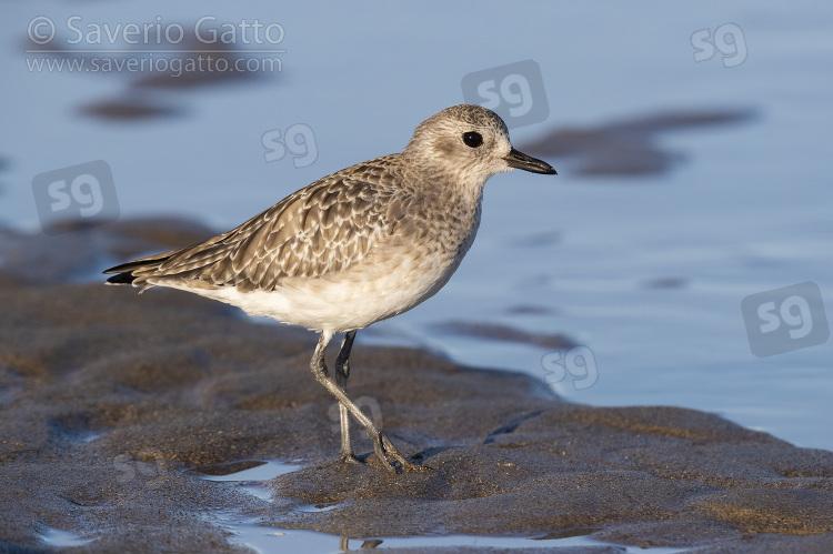 Pivieressa, giovane sulla sabbia