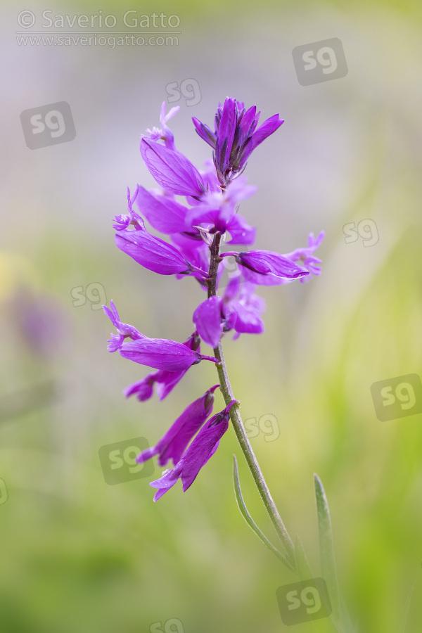 Poligala chiomata, primo piano dei fiori