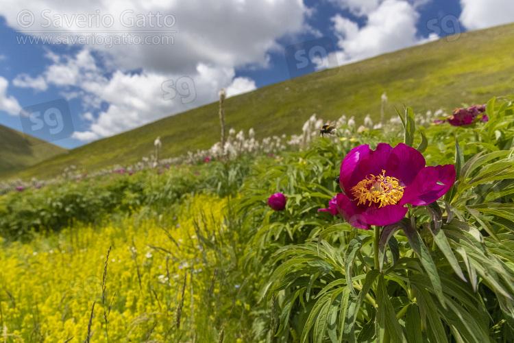 Peonia selvatica, fiore sulla fiancata di una montagna