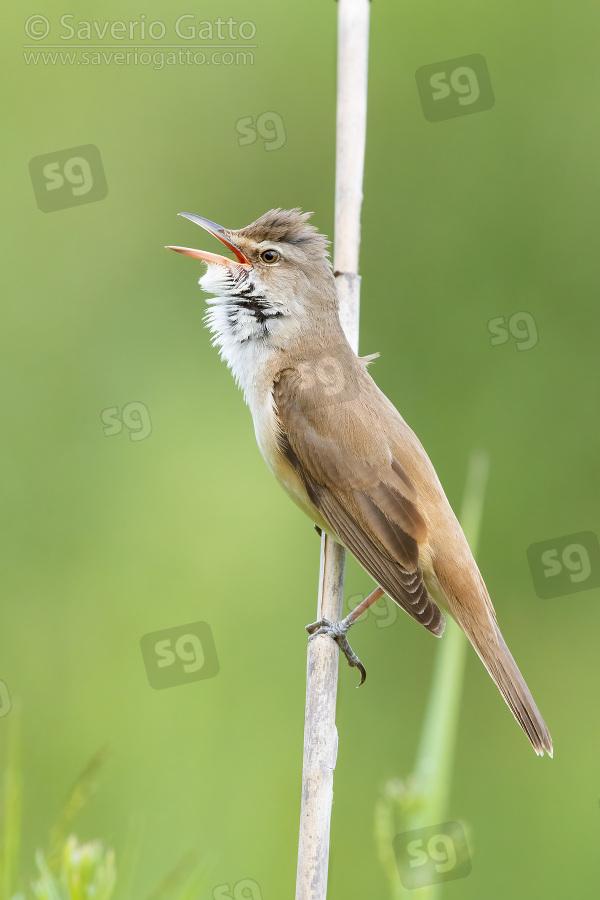 Cannareccione, adulto in canto su una cannuccia di palude