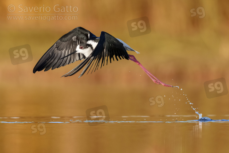 Cavaliere d'Italia, maschio adulto in volo