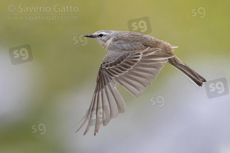 Spioncello, adulto in volo