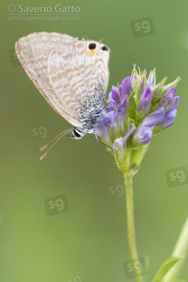Long-tailed Blue, side view of an adult perched on an alfalfa (medicago sativa) flower