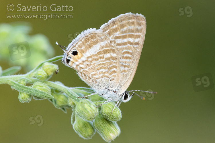 Long-tailed Blue, side view of an adult perched on a plant