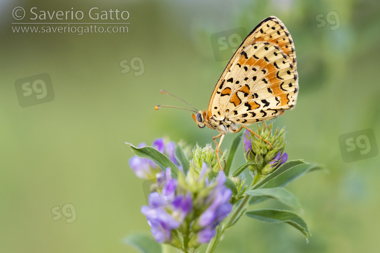 Spotted Fritillary, side view of an adult perched on an alfalfa (medicago sativa) flower