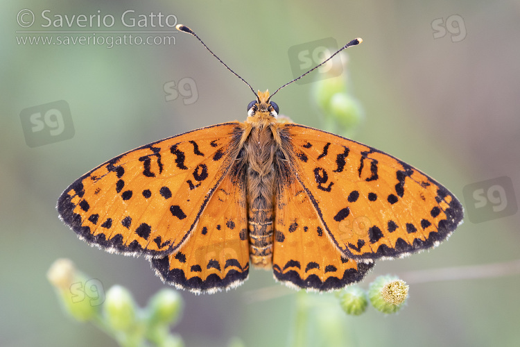 Spotted Fritillary, adult with opened wings