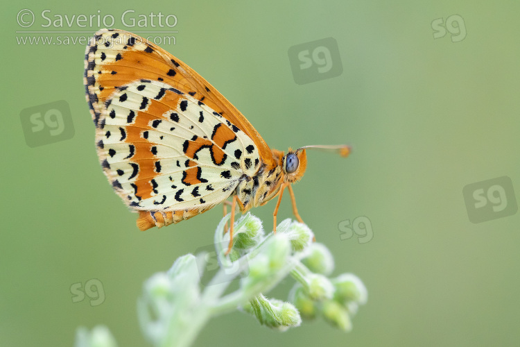 Spotted Fritillary, side view of an adult perched on plant
