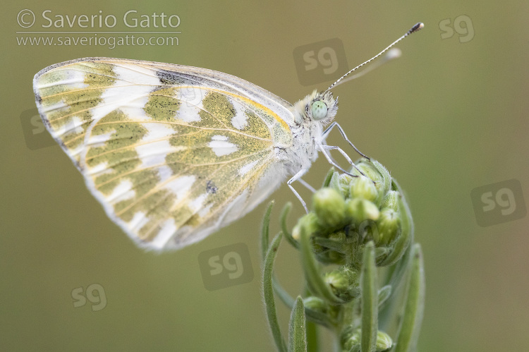 Eastern Bath White, side view of an adult perched on a plant